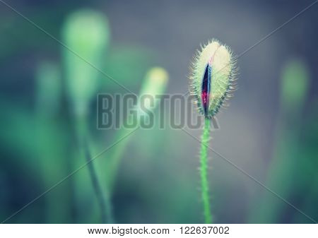 Closeup vintage style photo of gentle poppy bud, abstract natural grunge background, beauty of spring season concept