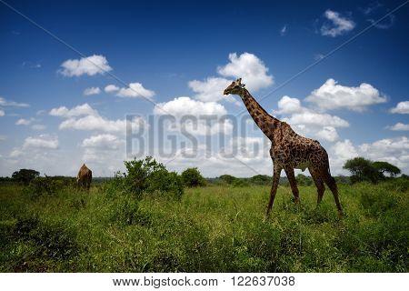 adult giraffe in natural park