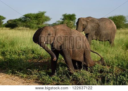 African elephants in the Ngorongoro Crater, Tanzania