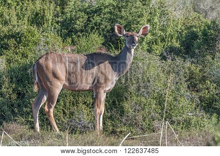 A kudu cow in typical stance in a National Park of South Africa