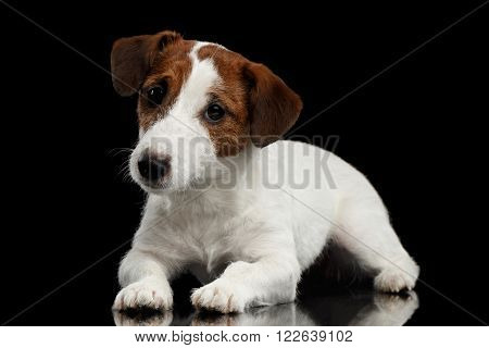 Cute Jack Russell Terrier Puppy Lies on Mirror and Looking in Camera isolated on Black background