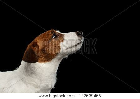Closeup Portrait of Jack Russell Terrier Dog Looking up in Profile view isolated on Black background