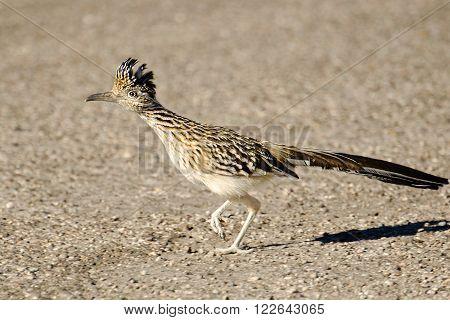 A single Greater Roadrunner Bird Running, Arizona, USA