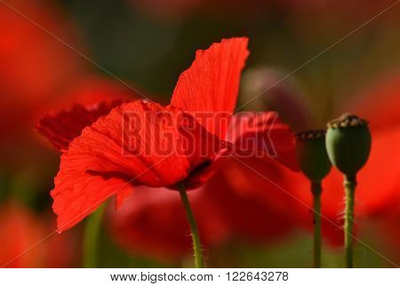 Radiant red poppy isolated of vivid color