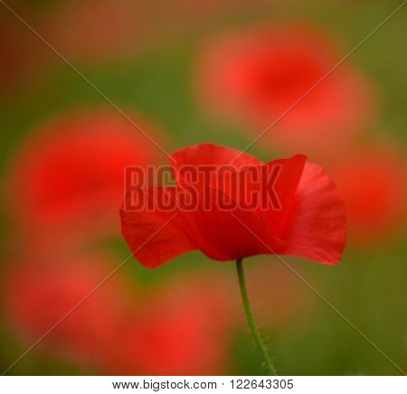 Beautiful red poppy of intense color .