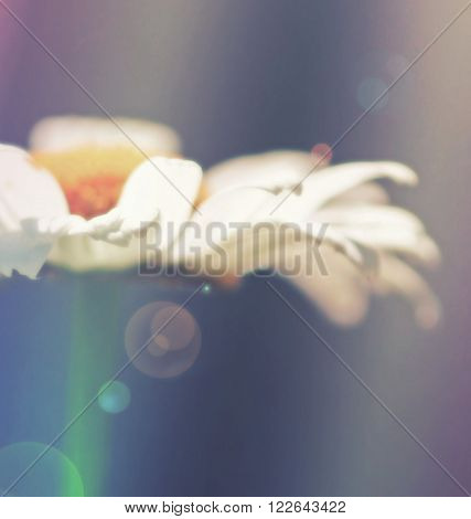 Daisy side view with colorful effects and sun flare background