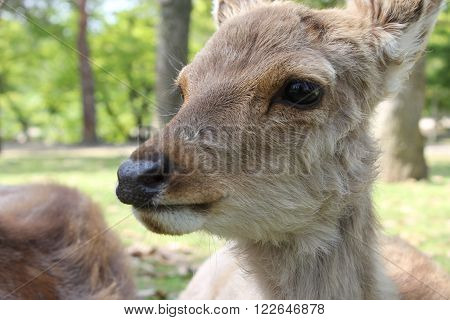 Young deer resting on the grass in Nara Park Japan ** Note: Soft Focus at 100%, best at smaller sizes