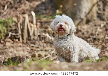Havanese Dog Sitting In The Forest