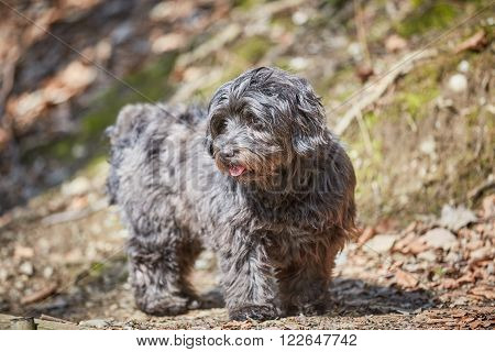 Havanese Dog Standing In The Forest