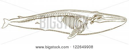 Vector engraving illustration of highly detailed hand drawn whale skeleton isolated on white background