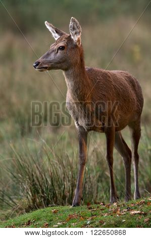 Red Deer Hind (Cervus Elaphus) in long grass at the edge of a forest