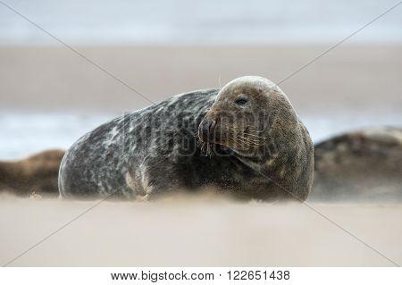 Atlantic Grey Seal (Halichoerus Grypus) on a beach in a sand storm