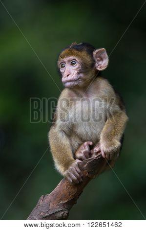 Baby Barbary Macaque (Macaca Sylvanus) perched on the end of a tree branch