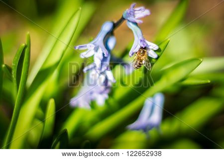 Bee inside of hyacinth flower pollinating, copy space