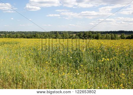 Field Overgrown With Yellow Flowers