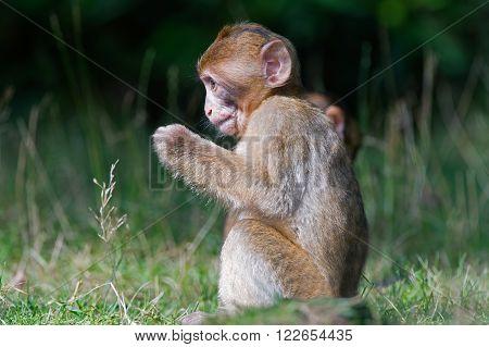 Young Barbary Macaque (Macaca Sylvanus) in long grass