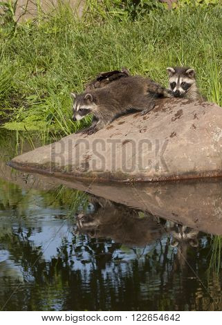 Two raccoons with reflection in the water of a quiet lake