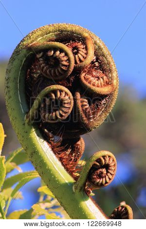Image of a New Zealand Tree Fern Koru