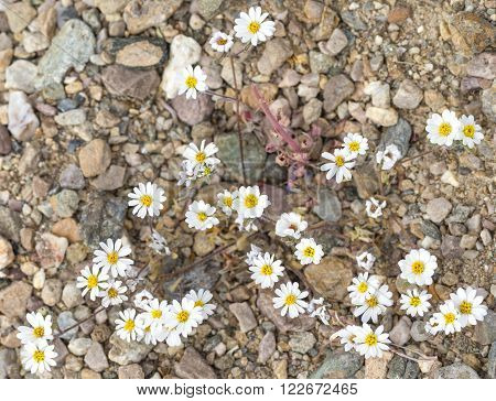 Flowers During 2016 Super Bloom In Death Valley
