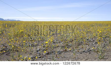 Desert gold sunflowers bloom near along Badwater road in Death Valley National Park California.