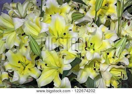 Yellow lily flowers background