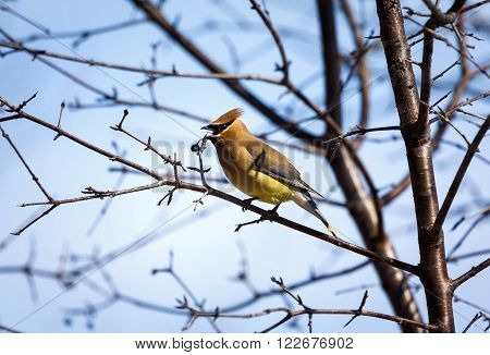 The Bohemian waxwing  is a starling-sized attractive bird that breeds in the northern forests of Eurasia and North America. It has mainly buff-grey plumage, black face markings and a pointed crest.