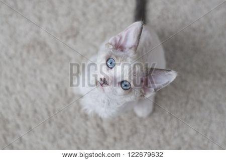 cute little blue-eyed devon rex kitten is sitting on a carpet