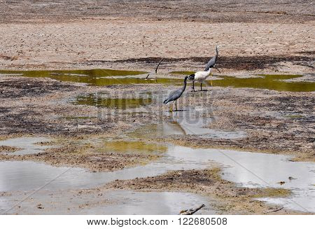 Market garden swamp during a drought with dried shallow waters with wading Australian grey herons and a large black and white Ibis in Spearwood, Western Australia.