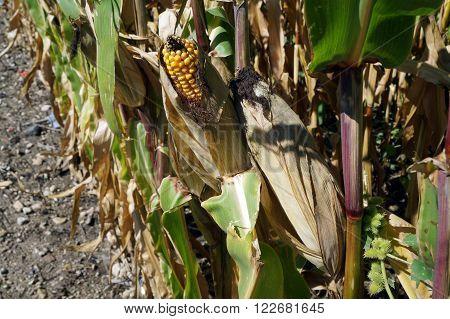 Ears of yellow corn ripen in a cornfield in Plainfield, Illinois.