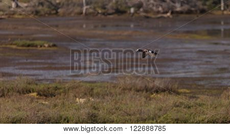 Green winged teal, Anas crecca, a waterfowl bird with a green stripe through its eye, flies over the marsh estuary of Upper Newport Bay in Newport Beach, California, United States