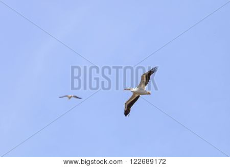 Great white pelican, Pelecanus onocrotalus, is also known as the eastern white pelican or the rosy pelican. This large bird eats fish and can be found near the ocean.