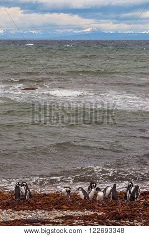 Colony of Magellanic Penguins (Spheniscus magellanicus) at Seno Otway close to Punta Arenas in Patagonia Chile