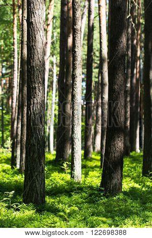 Sunlit tree trunks, beautiful nature, summer forest