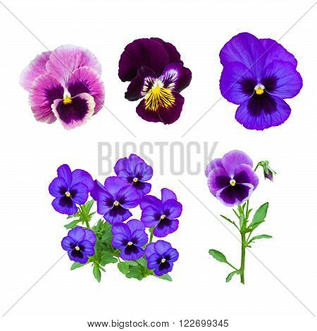 Dark blue pansy flower isolated on white background