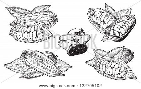 Cocoa on white background. Cocoa beans. Engraved raster illustration of leaves and fruits of cocoa beans. Isolated cocoa.