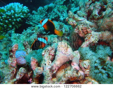 Couple of clownfish at the Great Barrier Reef.