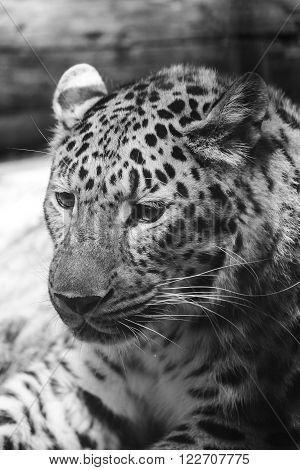 leopard or Panthera pardus closeup black and white portrait