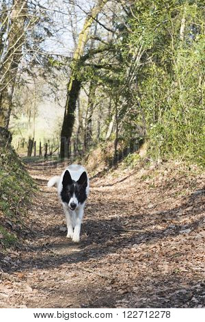 White dog walking in forest