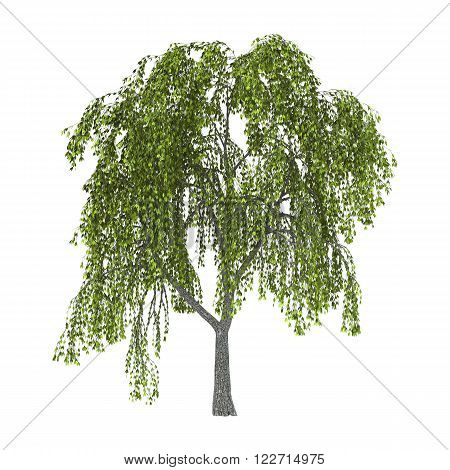 Green Willow On White