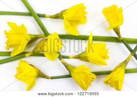 Composition of yellow jonquils on white background