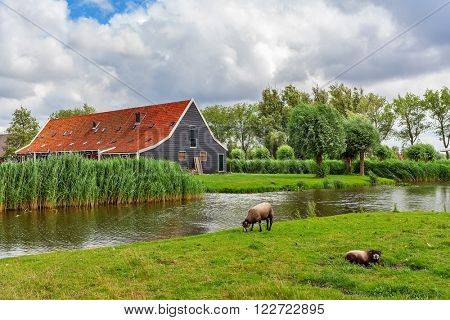 Two ship on green pasture as small river and rural house on background in Zaanse Schans, Netherlands.