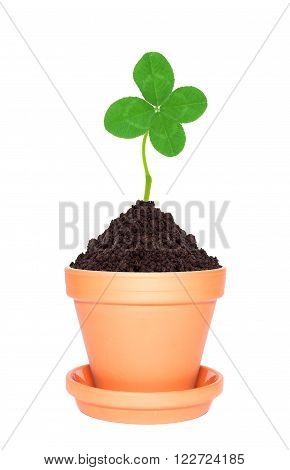 Clover leaf growing out of ground in pot isolated on white background