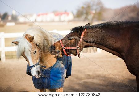 Horses playing in manege at spring sunny day outdoor