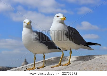A couple of gull on Vittoriano monument parapet in the center of Rome