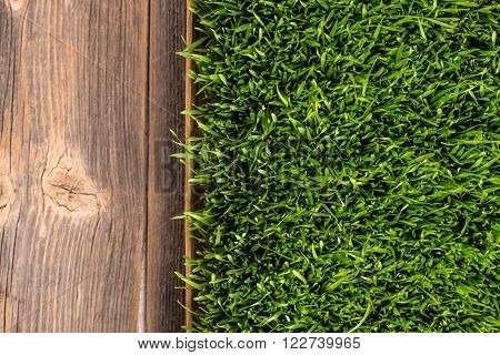 Top view of sprouts of green wheat grass