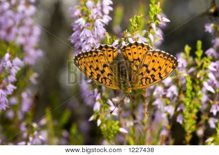 The Butterfly On A Heather