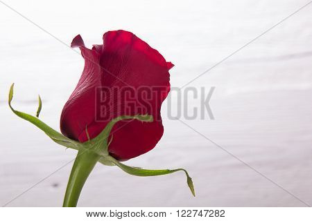 Fresh red rose on a background of white wall