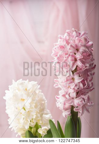 Pink and white hyacinth spring flower closeup on pink background