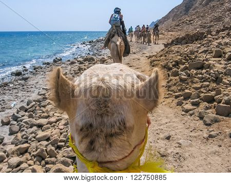Dahab, Red Sea, Sinai Peninsula, Egypt - October 3, 2007: tourists on camels ride with Bedouins along the coast of the golden city famous for its sunsets and Blue Hole.