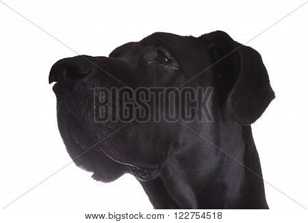 Profile image of a purebred black Great Dane with a white background